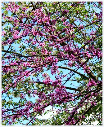 Redbud blossoms
